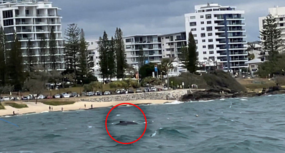 Beachgoers became concerned after seeing a young humpback entangled in shark nets. Source: SunReef