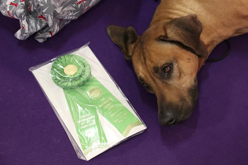 Bro, a Rhodesian ridgeback breed, lies next to a ribbon during the 143rd Westminster Kennel Club Dog Show in New York, Feb. 11, 2019. (Photo: Shannon Stapleton/Reuters)
