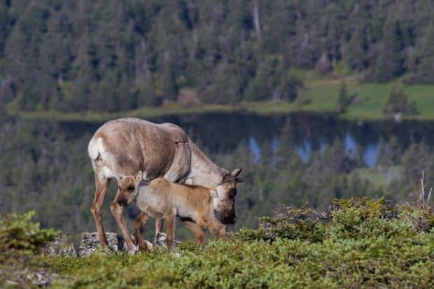 A mother and calf, part of the last remaining caribou herd south of the St. Lawrence River. The herd in Gaspésie National Park is endangered, with only about 50 animals remaining. (Frederic Lesmerises/submitted - image credit)