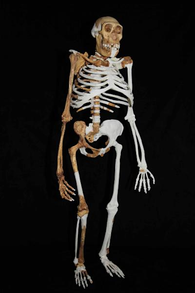 This undated image provided by Lee R. Berger and the University of the Witwatersrand shows a composite reconstruction of the skeleton of Australopithecus sediba. The newly-studied species lived some 2 million years ago, and it both climbed in trees and walked upright. Scientists are getting a more comprehensive look at the extinct South African creature with an intriguing mix of human-like and primitive traits, but scientists say they still haven't pinned down where it fits on our evolutionary family tree. Results were published in the journal Science on Thursday, April 11, 2013. (AP Photo/University of the Witwatersrand, Lee R. Berger)