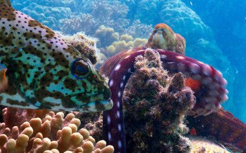A coral grouper on the Great Barrier Reef in Northern Australia with an octopus - Credit: BBC