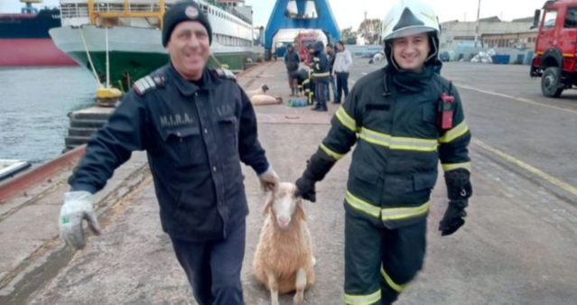 Rescuers carry a sheep to safety after a ship capsized off the coast of Romania (ISU Constanta)