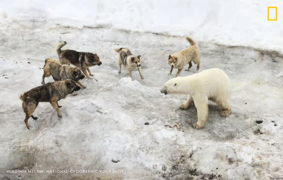 Guard dogs confront a polar bear on the Franz Josef Land archipelago. As Arctic sea ice disappears, bears are increasingly moving into human settlements in search of food.