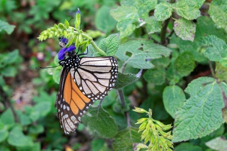 Monarch butterflies are essential to ecosystems and economies because they pollinate plants, recycle nutrients and serve as staple food for other animals (AFP/Enrique Castro)