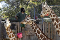 A masked zoo worker watches over giraffes at feeding time at the Oakland Zoo on July 2, 2020, in Oakland, Calif. Zoos and aquariums from Florida to Alaska are struggling financially because of closures due to the coronavirus pandemic. Yet animals still need expensive care and food, meaning the closures that began in March, the start of the busiest season for most animal parks, have left many of the facilities in dire financial straits. (AP Photo/Ben Margot)