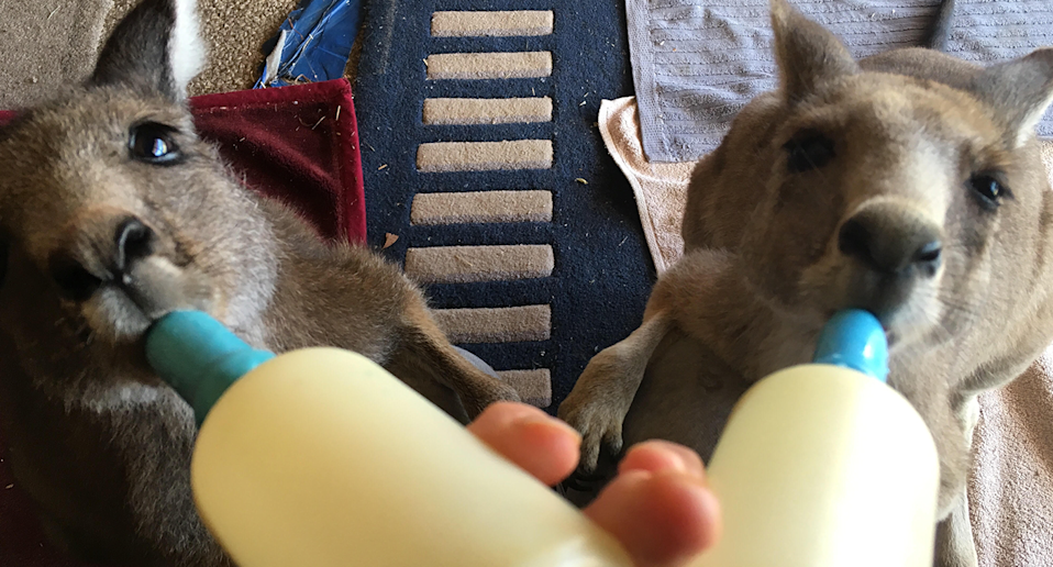 Two kangaroo joeys drink from bottles at Rex Box Wildlife Shelter.