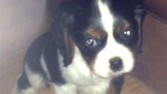 One Spaniel, named Charlie, collapsed from a deadly virus only days after he was purchased (RSPCA)