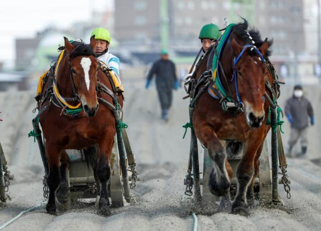 Jokceys and 'Banei' horses compete during their 'Banei' Keiba race, a form of farm horse racing, at Obihiro 'Banei' horse Race Track in Obihiro