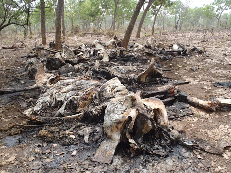 File -  In this February 2012 file photo released by Boubandjida Safari Lodge, the carcasses of elephants slaughtered by poachers are seen in Bouba Ndjida National Park, located in Cameroon near the border with Chad.   Tighter security has been mounted to protect Cameroon's dwindling elephant population because intelligence shows that two gangs of poachers from Sudan are heading for the area, said WWF Cameroon conservation director Hanson Njiforti Tuesday, Dec. 4, 2012. In the first quarter of 2012, poachers traveled more than 1,000 kilometers (620 miles) on horseback from Sudan to reach northern Cameroon's Bouba Ndjida National Park, where they killed more than 300 elephants in two months. The killings represented about 80 percent of the park's elephant population. (AP Photo/ Boubandjida Safari Lodge, File)