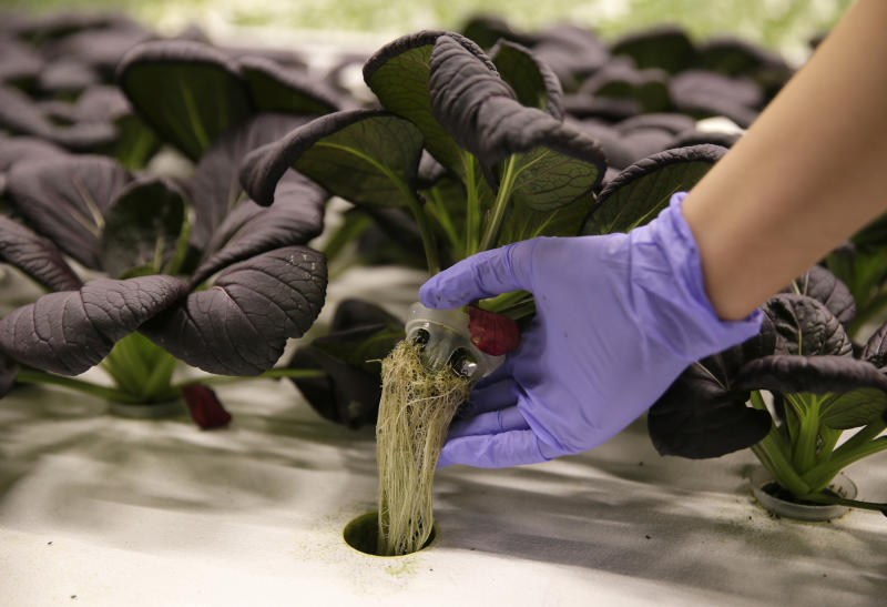 In this Thursday, Sept. 27, 2018, photo a bok choy plant is lifted up and displayed at Iron Ox, a robotic indoor farm, in San Carlos, Calif. At the indoor farm, robot farmers that roll maneuver through a suburban warehouse tending to rows of leafy, colorful vegetables that will soon be filling salad bowls in restaurants and eventually may be in supermarket produce aisles, too. (AP Photo/Eric Risberg)