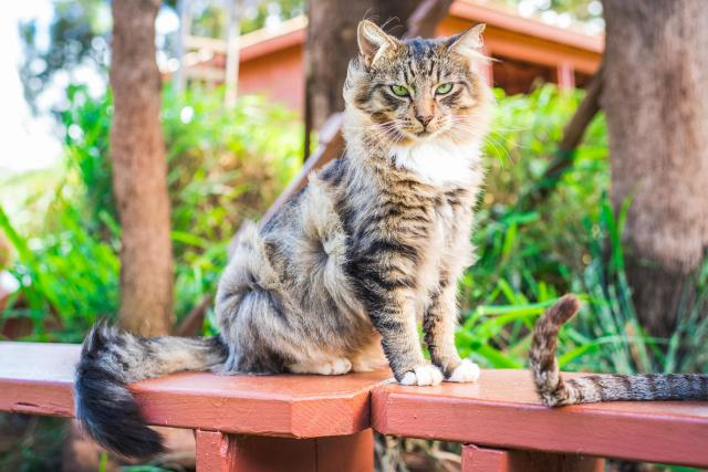 <p>A fluffy cat has its hair ruffled by the wing at the shade at the Lanai Cat Sanctuary in Hawaii. (Photo: Andrew Marttila/Caters News) </p>