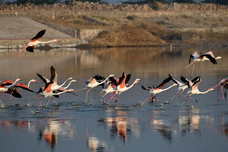 Pictured is a flock of flamingos flying over the Sambhar Salt Lake in India.