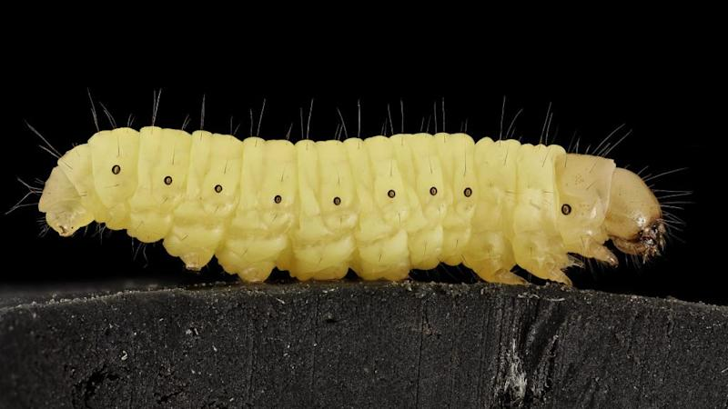 Wax worms eat plastic bags