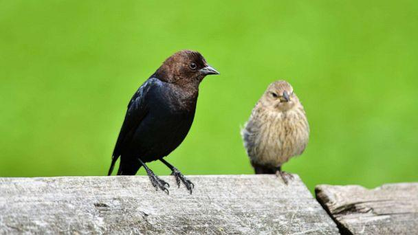 PHOTO: A pair of Brown-headed Cowbird sit on the fence. (haseg77/Shutterstock)