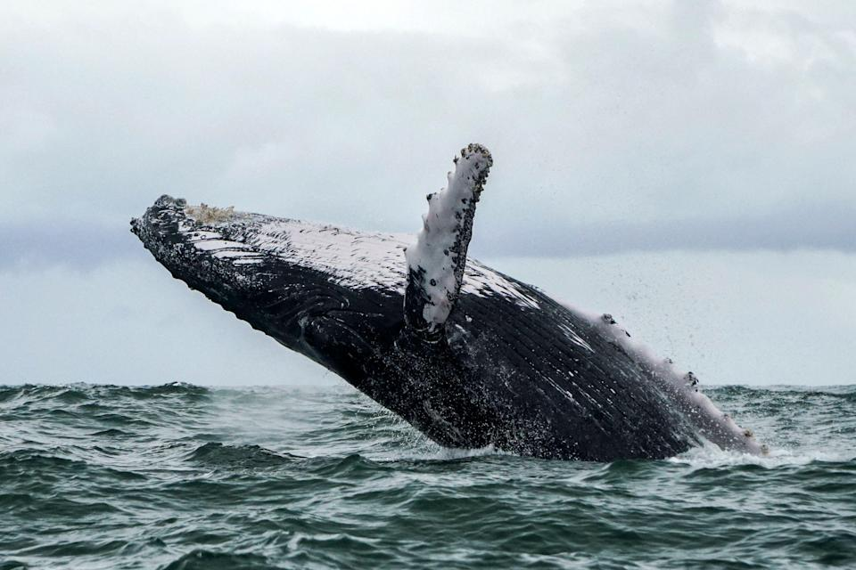 A professional lobster diver was almost swallowed by a humpback whale (AFP via Getty Images)