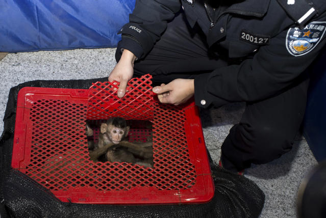 <p>Long-tailed macaque babies are seen inside a basket as police seized a truck smuggling them from Vietnam to China, in Changsha, Hunan province January 8, 2015. Police arrested 11 people on Thursday trying to smuggle at least 100 long-tailed macaques, which is a second grade protected species in China, local media reported. (Photo: Stringer/Reuters) </p>