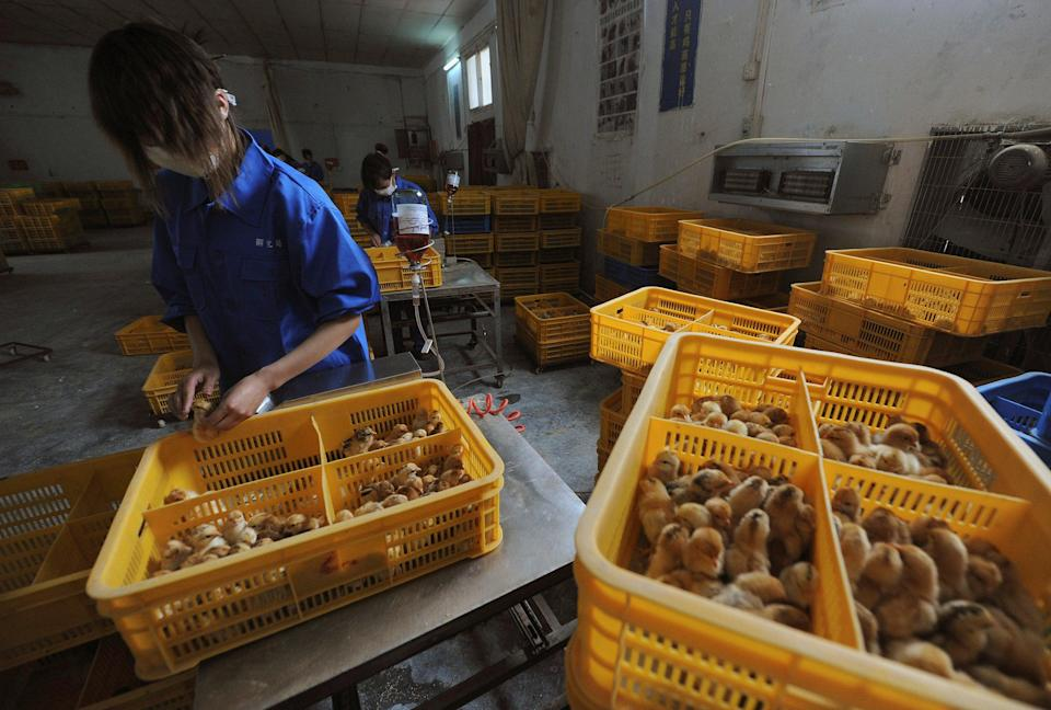 <p>File:  Workers vaccinate chicks with the H9 bird flu vaccine at a farm in Changfeng county, Anhui province, 14 April 2013</p> (Reuters)