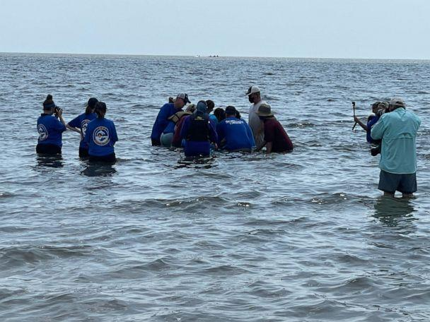 PHOTO: A young male bottlenose dolphin was rescued from a retention pond in Slidell, La. and released back into the Gulf, Sept. 5, 2021. (NOAA and Institute of Marine Mammal Studies)