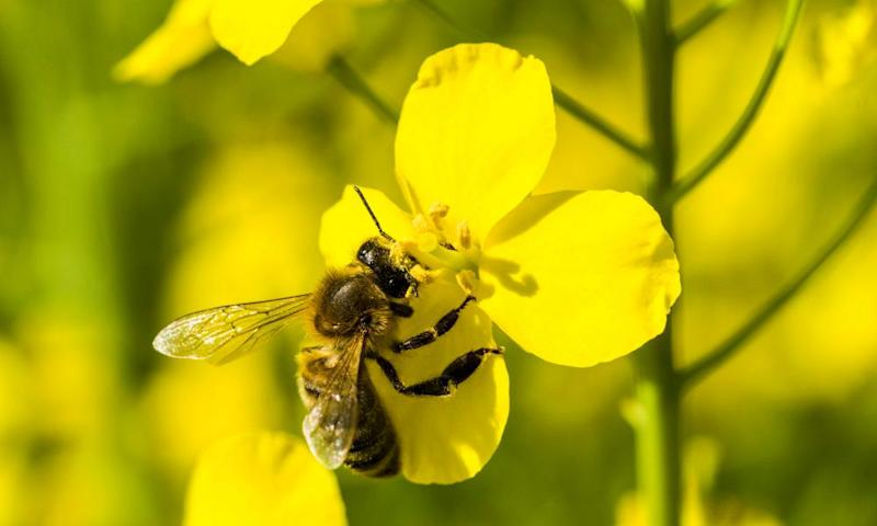 A Carniolan honey bee (Apis mellifera carnica) is collecting nectar at a yellow rapeseed blossom. Bees and other vital food crop pollinators have been declining for decades.