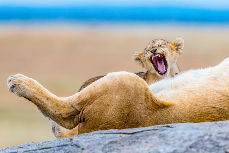 A lion cub seen yawning alongside its sleeping mother. (Photo: YS Wildlife Photography/Mercury Press/Caters News)
