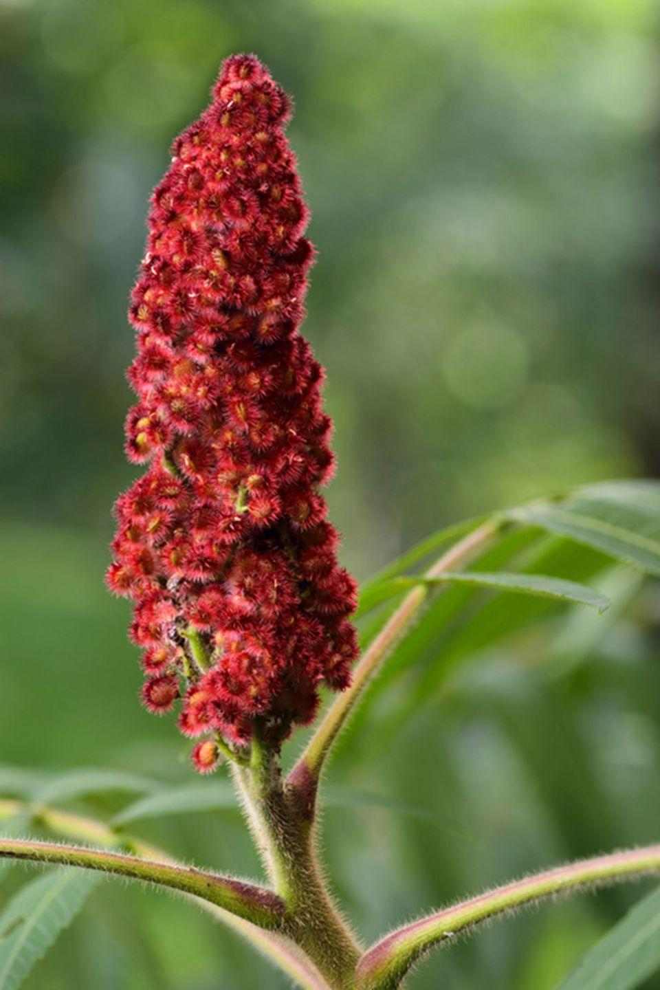 <p>The sumac shrub can grow up to 30 feet high. Their flowers are a stunning crimson red, and some species grow fruits that produce a tangy spice. </p><p><strong>Zones: 2-9</strong></p>