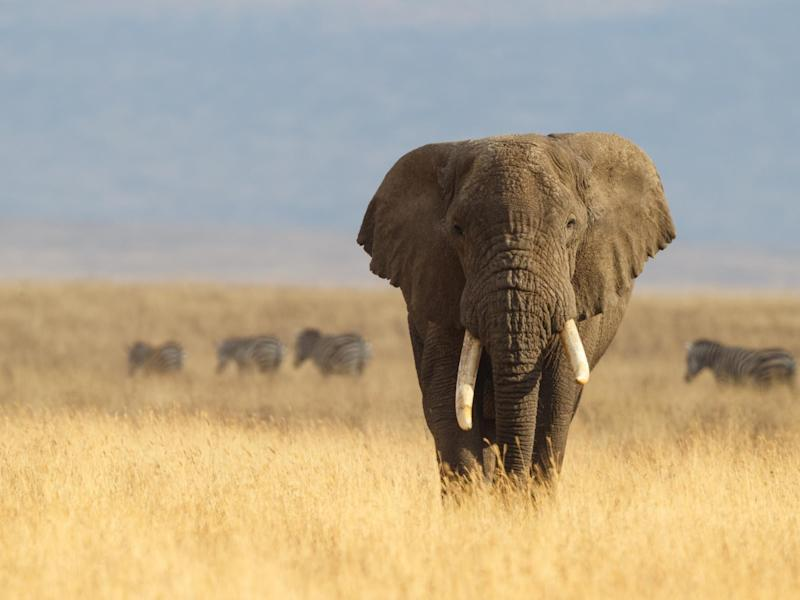 The culling of elephants in Africa was banned in 1995 but reintroduced in 2008 following a population boom: Getty Images/iStockphoto