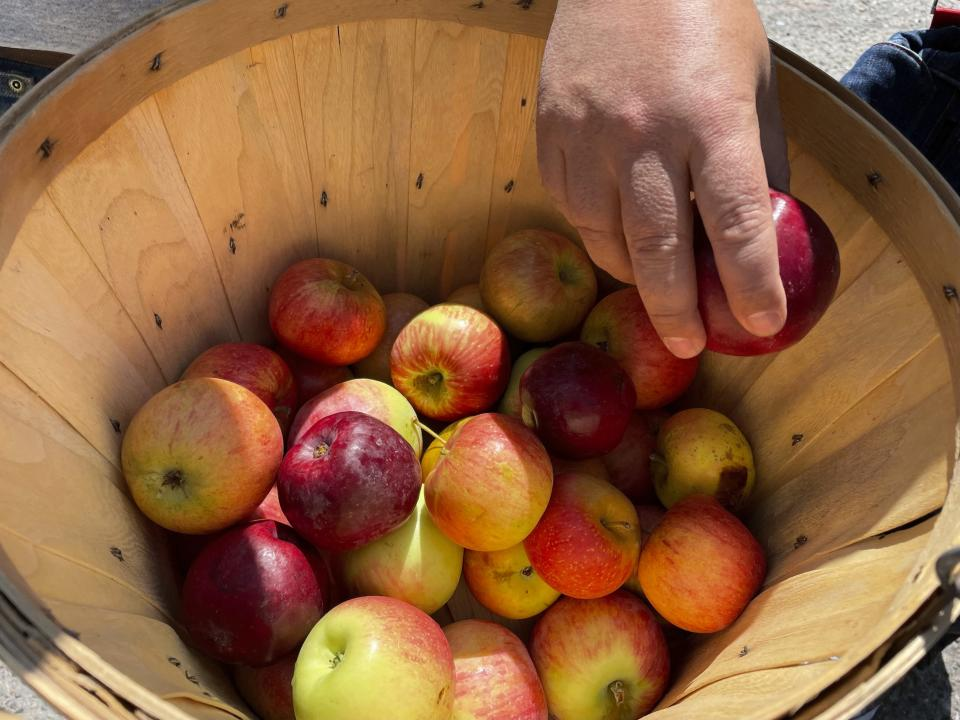 This Aug. 31, 2021 photo shows apples grown at an orchard near Abiquiu, New Mexico. Farmers in the valley who rely on traditional irrigation systems known as acequias say they are facing more pressure amid persistent drought and warmer temperatures. (AP Photo/Susan Montoya Bryan)