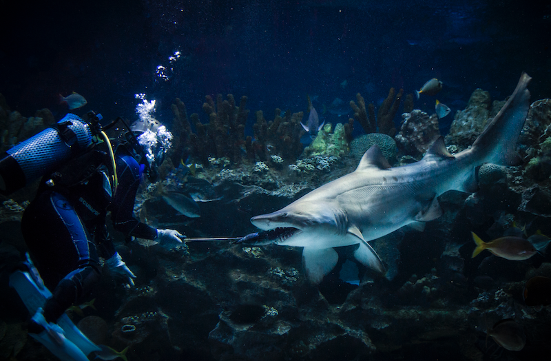 A diver feeding a shark in one of Aquaria KLCC's exhibits. — Picture courtesy of Aquaria KLCC