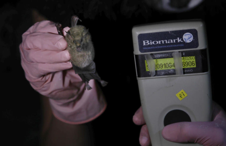 Mexico's National Autonomous University, UNAM, Ecology Institute student Samara Perez shows how a tracking microchip implanted in a Mexican long-tongued bat reads on a scanner before the bat is released back into the wild at the university's botanical gardens in Mexico City, Tuesday, March 16, 2021. The botanical gardens have vegetation whose flowers provide the bats with food; their long tongues and nose have evolved to drink nectar from the blooms. (AP Photo/Marco Ugarte)