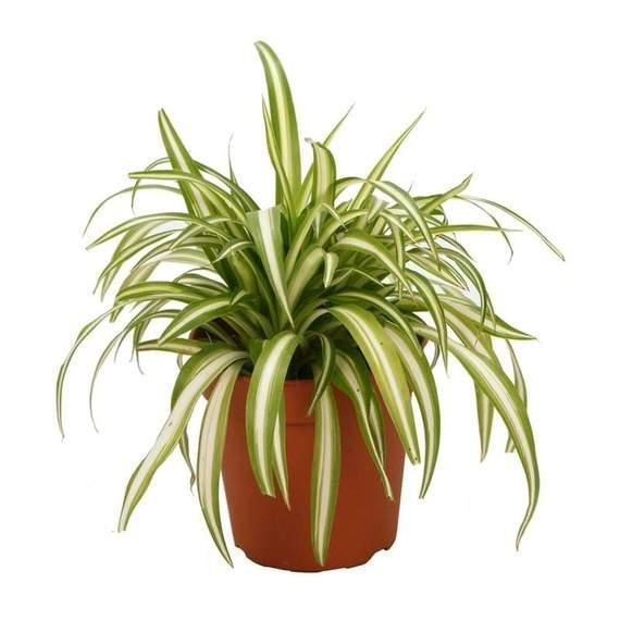 """<p>gardengoodsdirect.com</p><p><strong>$16.95</strong></p><p><a href=""""https://gardengoodsdirect.com/products/spider-plants?variant=31302196690986&gclid=CjwKCAjw4871BRAjEiwAbxXi27tg9O-in54Cw56hDA5ntOwDiBK2zi6UuOs_8sxVGJ_FyLY_iB_V7BoCO3sQAvD_BwE"""" rel=""""nofollow noopener"""" target=""""_blank"""" data-ylk=""""slk:Shop Now"""" class=""""link rapid-noclick-resp"""">Shop Now</a></p><p>Spider plants might sound a bit spooky, but they're a great addition to any indoor plant collection. They don't require too much water, and they're great for <a href=""""https://gardengoodsdirect.com/products/spider-plants?variant=31302196690986&utm_medium=cpc&utm_source=google&utm_campaign=Google%20Shopping&gclid=CjwKCAjw4871BRAjEiwAbxXi27tg9O-in54Cw56hDA5ntOwDiBK2zi6UuOs_8sxVGJ_FyLY_iB_V7BoCO3sQAvD_BwE"""" rel=""""nofollow noopener"""" target=""""_blank"""" data-ylk=""""slk:purifying indoor air,"""" class=""""link rapid-noclick-resp"""">purifying indoor air,</a> according to Garden Goods. </p>"""