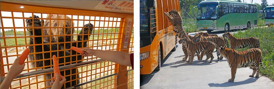 Promotional pictures show bears and tigers approaching buses.