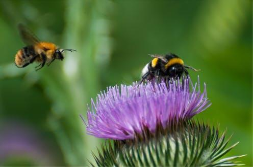 """<span class=""""caption"""">Bumblebees are better at flying in wet conditions than other bees</span> <span class=""""attribution""""><span class=""""source"""">Simona Chira/Shutterstock</span></span>"""