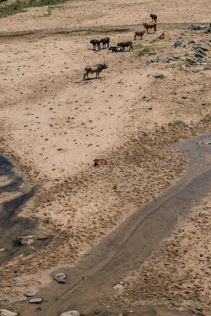 On the cracked earth, hundreds of cattle wander in search of the last drinking hole or that rare blade of grass (AFP Photo/Mujahid Safodien)