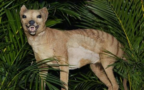 The thylacine has been declared extinct - Credit: TORSTEN BLACKWOOD/AFP/Getty Images