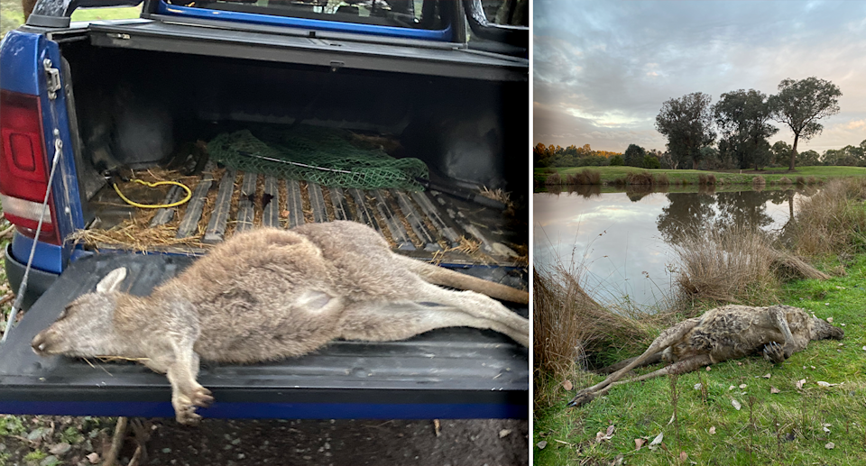 Tens of dead kangaroos have been found at the site, according to Wildlife Victoria. Source: Supplied