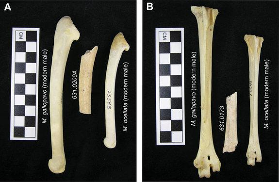 Archaeological turkey specimens compared with modern M. gallopavo and M. ocellata: A) right ulnae, and B) left tarsometatarsi.