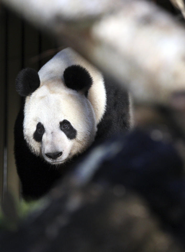 Giant panda named Tian Tian, explores her enclosure at Edinburgh Zoo in Edinburgh, Scotland Monday, Dec. 12, 2011. Two 8-year-old giant pandas from China landed Sunday Dec. 4, 2011 in Scotland, where they will become the first to live in Britain in nearly two decades. The pandas, from the southwestern Chinese province of Sichuan, are to stay for 10 years at Edinburgh Zoo, where officials hope they will give birth to cubs. The loan marked the beginning of a U.K.-China research program on the animals, and both sides have described it as a signal of a growing friendship between Scotland and China. (AP Photo/Scott Heppell)