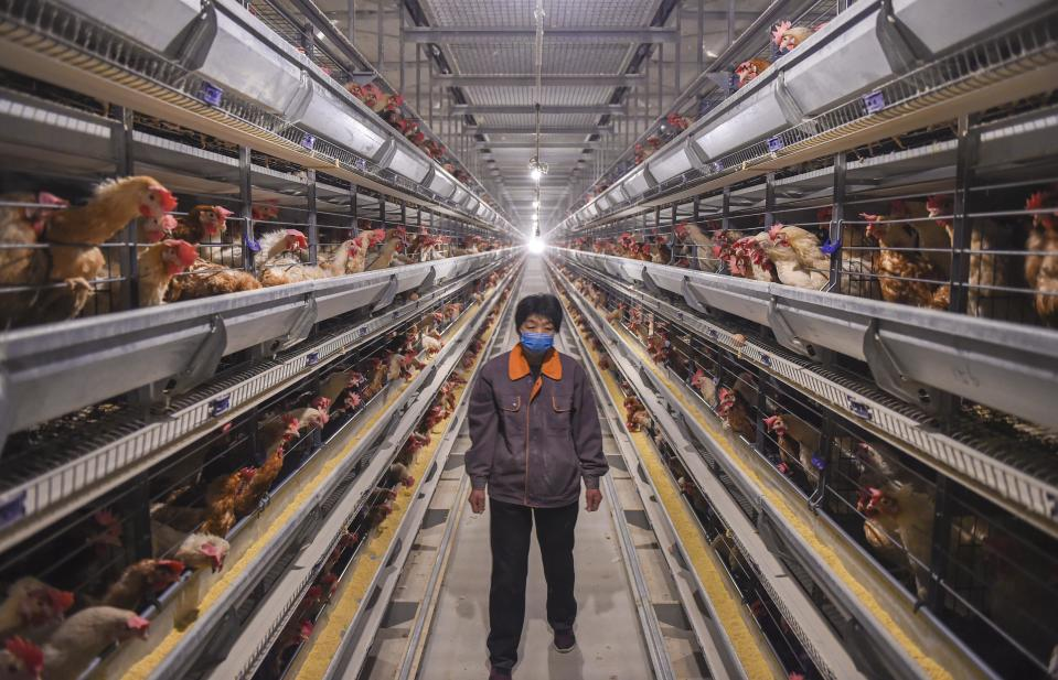 Food security is essential to Chinese and they have adopted industrial farming. Source: Getty