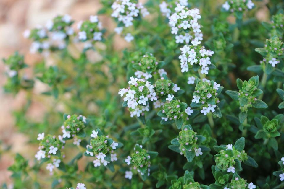 """<p>A perfect addition to an herb garden, thyme will flower in the middle of the spring to mid-summer. Not only will bees buzz around these fragrant blossoms, you can pick and use them in salads, as a garnish, or sprinkled on avocado toast.<br><br><a class=""""link rapid-noclick-resp"""" href=""""https://www.amazon.com/Perennial-Marketplace-Thymus-praecox-Chintz/dp/https://www.amazon.com/Sow-Right-Seeds-Planting-Instructions/dp/B07H7SCFX8/\?tag=syn-yahoo-20&ascsubtag=%5Bartid%7C10050.g.32157369%5Bsrc%7Cyahoo-us"""" rel=""""nofollow noopener"""" target=""""_blank"""" data-ylk=""""slk:SHOP NOW"""">SHOP NOW</a></p>"""