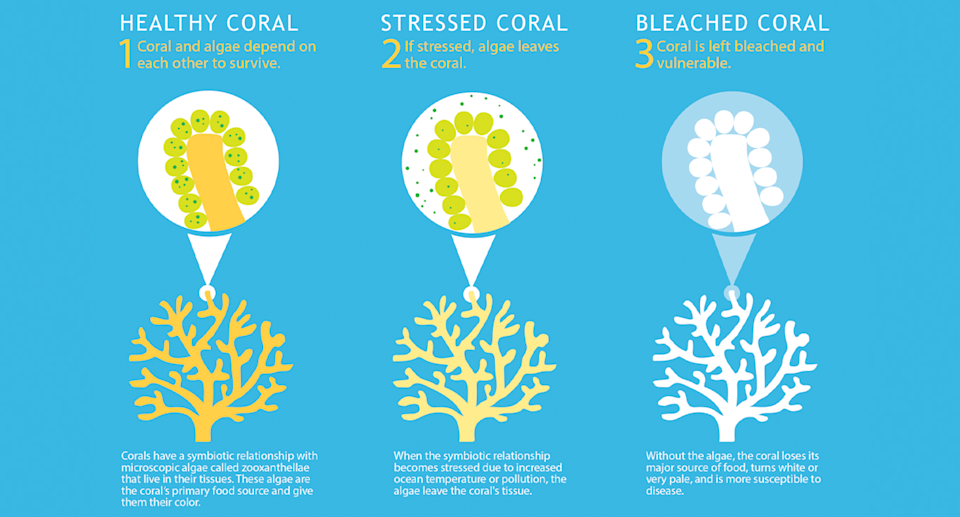 A chart showing how coral bleaching occurs.
