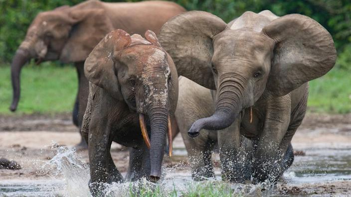 Elephants are under threat from poaching and habitat loss
