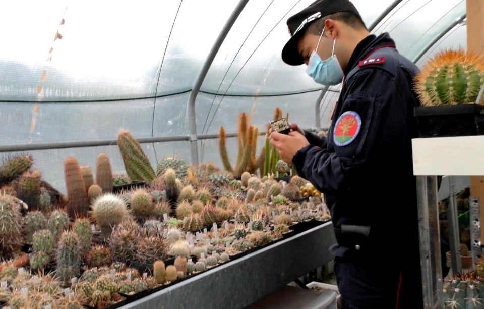 An Italian Carabinieri checks cacti in the greenhouse of a suspected cactus trafficker, in Senigallia, Italy, Thursday, Feb. 6, 2020. A huge cactus bust in Italy in February 2020 resulted in the confiscation of over 1,000 rare cacti. The find became the catalyst for an international effort among cacti experts, police, conservationists and governments to launch the first rare plant return to its native habitat. (Carabinieri via AP)
