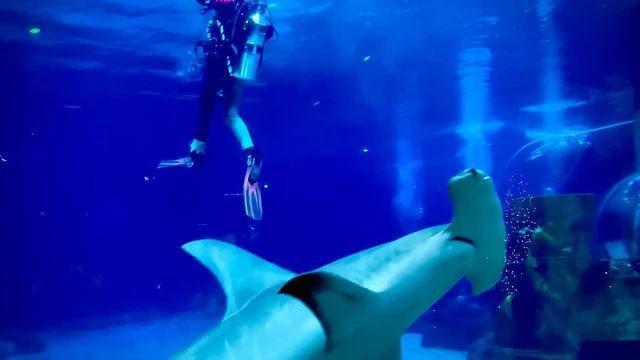 <p>Scuba Santa goes from the North Pole to under the sea with the Adventure Aquarium's hammerhead shark.</p>