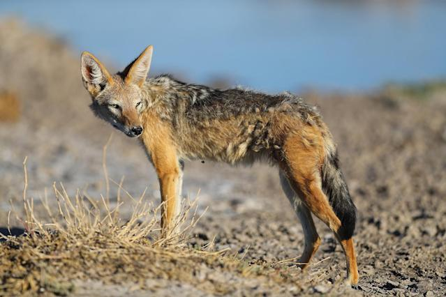 <p>A jackal searches for scraps for dinner near a watering hole in the Namutoni section of Etosha. (Photo: Gordon Donovan/Yahoo News) </p>