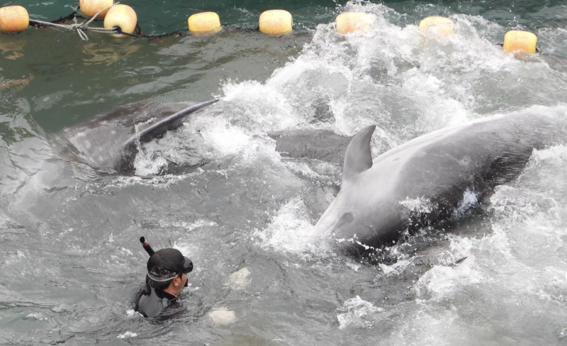 Dolphins thrash about as the hunters move in to separate the pod. Source: Dolphin Project
