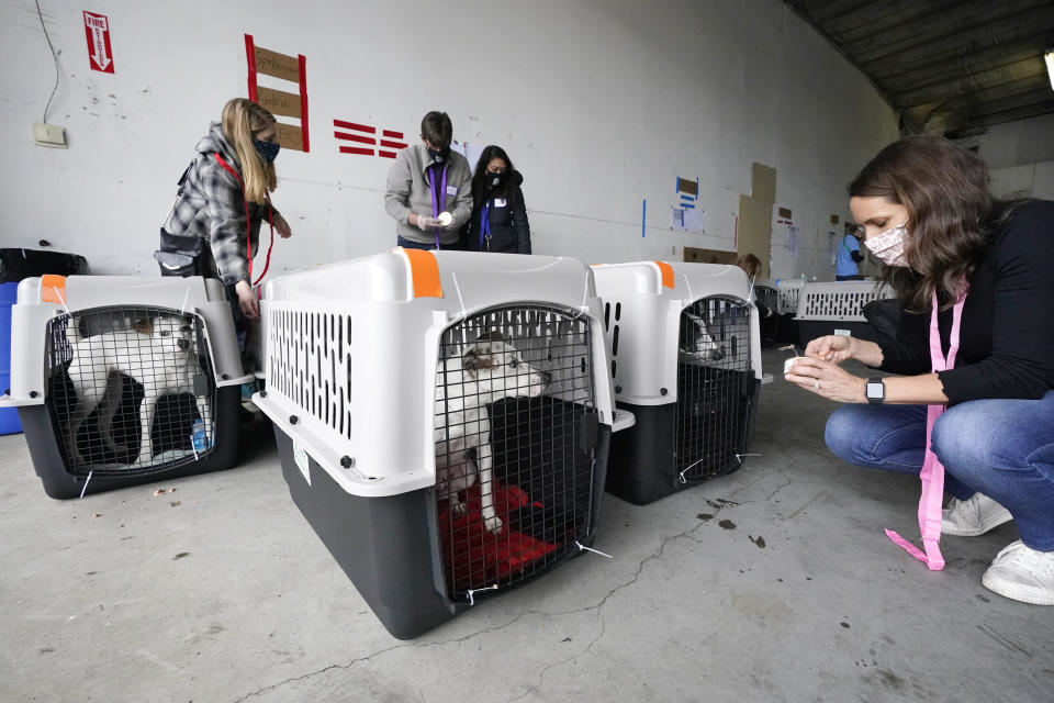 """Kim Van Syoc, executive director of the Banfield Foundation, feeds dogs after the landing of a """"Paws Across the Pacific"""" pet rescue flight Thursday, Oct. 29, 2020, in Seattle. Volunteer organizations flew more than 600 dogs and cats from shelters across Hawaii to the U.S. mainland, calling it the largest pet rescue ever. The animals are being taken from overcrowded facilities in the islands to shelters in Washington state, Oregon, Idaho, and Montana. (AP Photo/Elaine Thompson)"""
