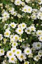 <p>Chrysanthemums bloom in tons of different shapes, sizes, and colors. They're perfect for container gardening—so fear not if you don't have room for a big garden.</p><p><strong>Zones: 5-9</strong></p>