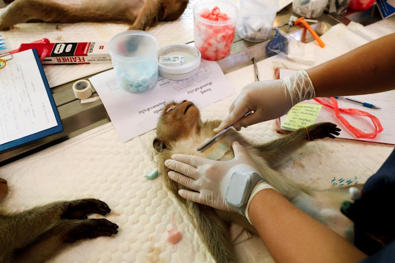 A veterinarian shaves a monkey's chest before a sterilization procedure by the Department of National Parks due to the increase of the macaques population in the urban area and the tourist spots of the city of Lopburi, in Thailand June 22, 2020. Picture taken June 22, 2020. REUTERS/Jorge Silva