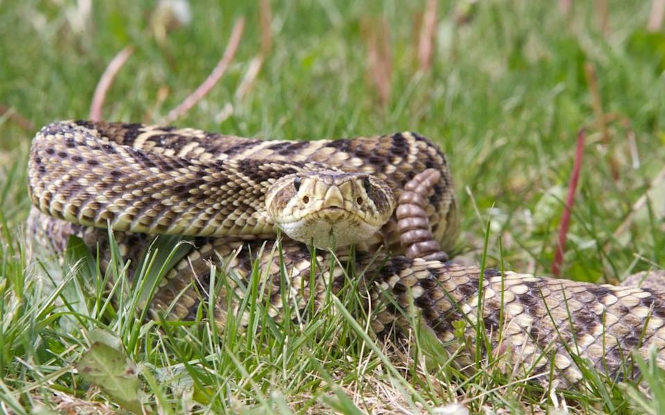 An Eastern Diamondback Rattlesnake in a defensive posture ready to strike with its rattle next to its head.