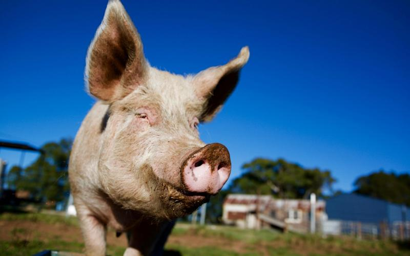 It is thought some diseases spread from bats, to intensively farmed pigs, to humans - Getty